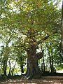 Chêne pédonculé à Saint-Jacut-du-Mené.jpg