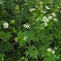 Chaerophyllum aureum RF.jpg