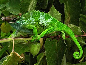 Description de l'image Chameleon - Tanzania - Usambara Mountains.jpg.