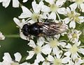 Cheilosia sp. (female) - Flickr - S. Rae (13).jpg