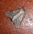Chemerina caliginearia Early Heath - Flickr - gailhampshire (1).jpg