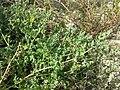 Chenopodium vulvaria sl105.jpg