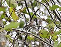 Chestnut-backed Chickadee, Grays Harbor NWR, WA, 18 October 2012 (8115018652).jpg