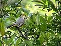 Chestnut-tailed Minla1 DSC02704.jpg