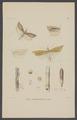 Chilo - Print - Iconographia Zoologica - Special Collections University of Amsterdam - UBAINV0274 003 07 0004.tif