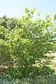 Chimonanthus praecox 9zz.jpg