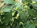 Chionanthus foveolatus subsp major, loof en vrugte, Manie vd Schijff BT, a.jpg
