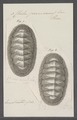 Chiton peruvianus - - Print - Iconographia Zoologica - Special Collections University of Amsterdam - UBAINV0274 081 06 0008.tif
