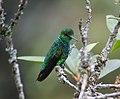 Chlorostilbon melanorhynchus Esmeralda occidental Western Emerald (male) (16898712571).jpg