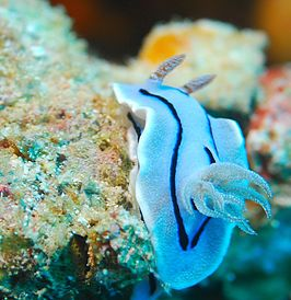 Een blauwe Chromodoris willani.