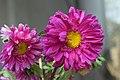 Chrysanthemum morifolium (1).jpg