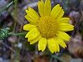 Chrysanthemum segetum enfoque 2010-5-09 SierraMadrona.jpg