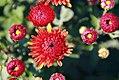 Chrysanthemum x grandiflorum Andrea 1zz.jpg