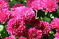 Chrysanthemum x grandiflorum Marjorie 2zz.jpg