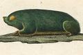 Chrysochloris asiatica.png