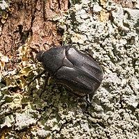 Chrysolina herbacea-Chrysomèles de la menthe-Noire-20160420.jpg