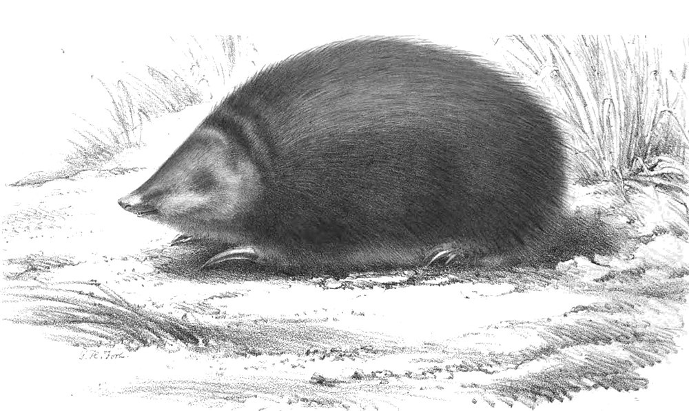 The average adult weight of a Rough-haired golden mole is 112 grams (0.25 lbs)