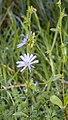 Cichorium intybus L. (AM AK296615-1).jpg