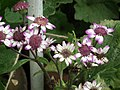 Cineraria from Lalbagh flower show Aug 2013 8227.JPG