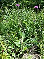 Cirsium pannonicum sl28.jpg