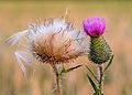 Cirsium vulgare - Keila2.jpg