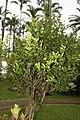 Citrus sinensis 9zz.jpg