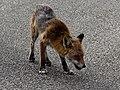 City of London Cemetery, Newham, London England - fox 02.jpg
