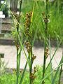 Cladium mariscus01.jpg