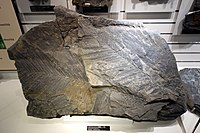 Cladophlebis nebbensis - National Museum of Nature and Science, Tokyo - DSC07005.JPG