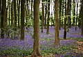 Cleeve, bluebell wood - geograph.org.uk - 62547.jpg