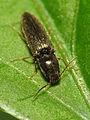 Click Beetle (14535067285).jpg