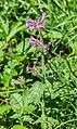 Clinopodium vulgare in Chablais (1).jpg