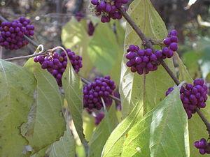 Callicarpa americana - American Beautyberry
