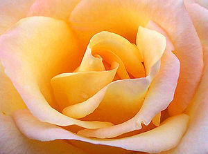 Close up yellow rose