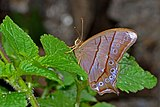 Close wing position of Lethe sinorix Hewitson, 1863 – Tailed Red Forester WLB DSC 1041.jpg