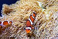 Clown fish at Seattle Aquarium.jpg