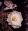 Cocytius antaeus em Pilosocereus gounellei EARMLucena2007-1.png