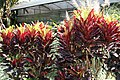 Codiaeum variegatum 38zz.jpg