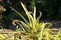 Codiaeum variegatum Robert Lavoris 1zz.jpg