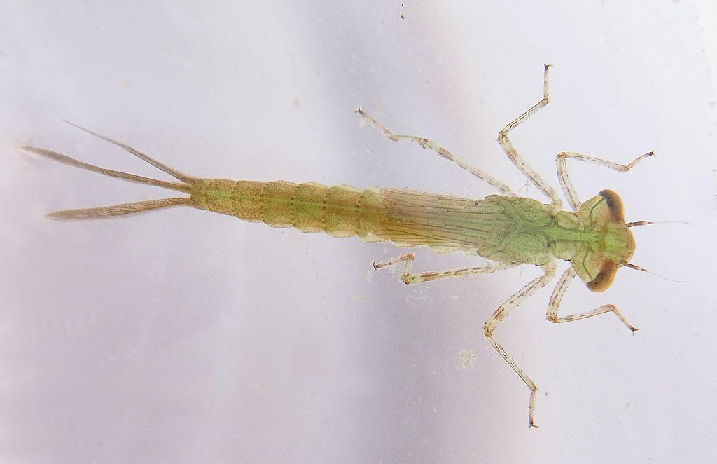 Šidielko obyčajné (lat. Coenagrion puella) - larva
