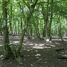 Old Hornbeam Coppice Stools Left Uncut For At Least 100 Years Coldfall Wood London