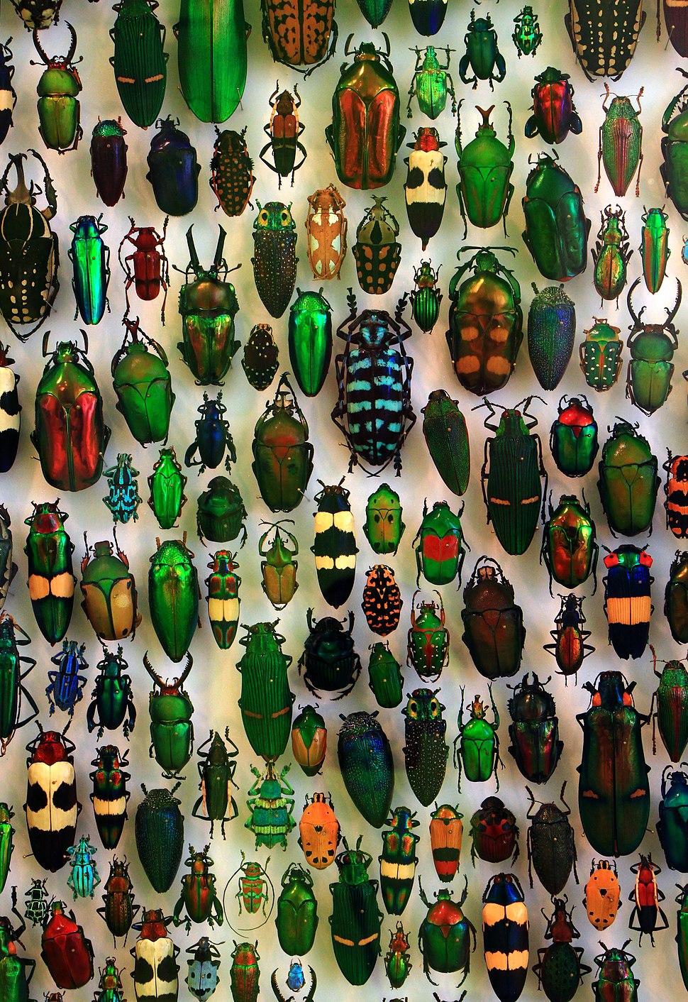 Coleoptera SMNK