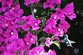 Colibrí Jaspeado • Speckled Hummingbird (Adelomyia Melanogenys).jpg