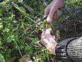 Collecting pot herbs.jpg
