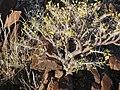 Commiphora saxicola arbuste MHNT.jpg