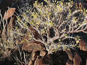 Commiphora - Commiphora saxicola - MHNT