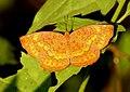 Common Castor Ariadne merione by Dr. Raju Kasambe DSCN0732 (8).jpg