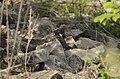 Common Cuckoo from Mordham Dam Nagpur JEG3631.jpg