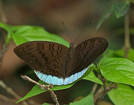 Common Earl (Tanaecia julii) at Jayanti, Duars, West Bengal W IMG 5519.jpg