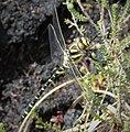 Common Goldenring. Cordulegaster boltonii (24209188487).jpg